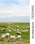Goats grazing in the grassland in qinghai province, China - stock photo