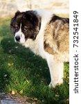 fluffy caucasian shepherd dog... | Shutterstock . vector #732541849