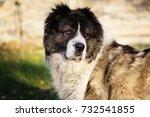 fluffy caucasian shepherd dog... | Shutterstock . vector #732541855