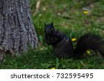 Black Squirrel Paused On The...
