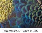 Closeup Peacock Feathers  Gree...