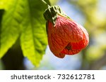 Small photo of Single Abutilon Pictum aka Red Vein Indian Mallow, Chinese Lantern flower growing in it's natural garden setting, with it's own foliage as the back drop.