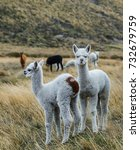 Small photo of cubs alpacas rest on the pasture. Andes. Ecuador cute baby alpaca