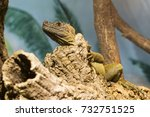 Small photo of Amboina sail finned lizard looking at the branch.