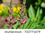 lupinus  lupin  wild lupine... | Shutterstock . vector #732771679