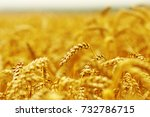 background of ripening ears of... | Shutterstock . vector #732786715