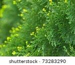 Green Cypress Tree  Macro