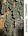 Small photo of Bark wood texture of broadleaf tree Sycamore maple, latin name Acer Pseudoplatanus
