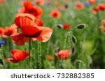 red poppy flowers blooming in... | Shutterstock . vector #732882385