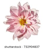 Stock photo dahlia white pink flower on an isolated white background with clipping path closeup no shadows 732904837