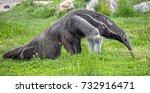 giant anteater. latin name  ... | Shutterstock . vector #732916471