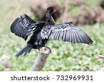 Long Tailed Cormorant Or Reed...