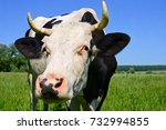 cow on a summer pasture | Shutterstock . vector #732994855