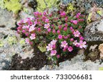 Small photo of Androsace brevis - Endemic rockjasmine