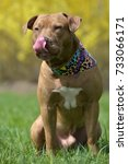 Small photo of Brown American Pit Bull Terrier sitting on grass in spring