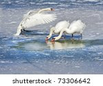 Mute Swans On The Frozen Lake.