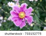 Anemone Hupehensis Japonica ...