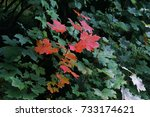 Leaves start to turn into red as autumn begin to start in Switzerland.