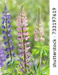 purple and pink lupin flowers.... | Shutterstock . vector #733197619