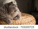 elegant british short hair cat... | Shutterstock . vector #733205725