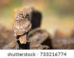 the little owl is on the stone with her head turned