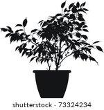 ficus  ficus benjamina linnaeus  | Shutterstock .eps vector #73324234