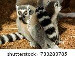 lemur staring | Shutterstock . vector #733283785