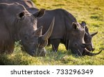 two male white rhino and a... | Shutterstock . vector #733296349