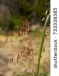 Small photo of Brome grass an invasive introduced species into Australia.