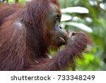 bornean orangutan on the tree...   Shutterstock . vector #733348249