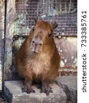 cute capibara kid in the zoo  a ... | Shutterstock . vector #733385761