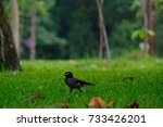 Small photo of Little Acridotheres on grass in the outdoor park