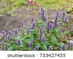 Small photo of Agastache foeniculum, Agastache anethiodora, commonly called anise hyssop, blue giant hyssop, Fragrant giant hyssop, or the lavender giant hyssop, is a species of perennial plant in the mint family