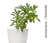 Small photo of Plant of family gesneriaceae - chirita linearifolia in pot isolated on the white background
