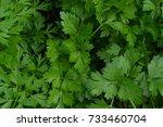 parsley. petroselinum. parsley... | Shutterstock . vector #733460704