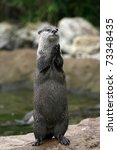 Stock photo an otter at the zoo seems to be clapping or praying 73348435