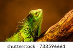 green iguana  also known as the ... | Shutterstock . vector #733596661