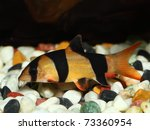 Colorful Clown Loach Fish  ...
