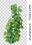 vine plant growing green leaves ... | Shutterstock . vector #733611394