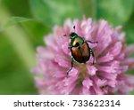 japanese beetle | Shutterstock . vector #733622314