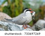 bird with fish. the common tern ... | Shutterstock . vector #733697269