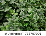 New Zealand Spinach Growing In...