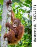 central bornean orangutan  ...   Shutterstock . vector #733713571