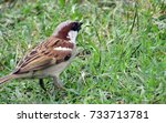 sparrow  back view of a bird... | Shutterstock . vector #733713781