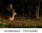fallow deer resting during... | Shutterstock . vector #733762681