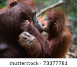 Stock photo a female of the orangutan with a cub in a native habitat the cub of the orangutan kisses mum rain 73377781