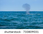 young humpback whale jumping ...   Shutterstock . vector #733809031