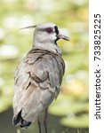 Small photo of southern lapwing bird looking portrait to the side - wader charadriiformes