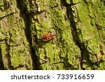 Bedbug Soldier On A Tree Trunk...