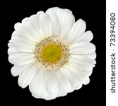Perfect White Gerbera Flower with Yellow Center Macro Closeup Isolated on Black Background - stock photo